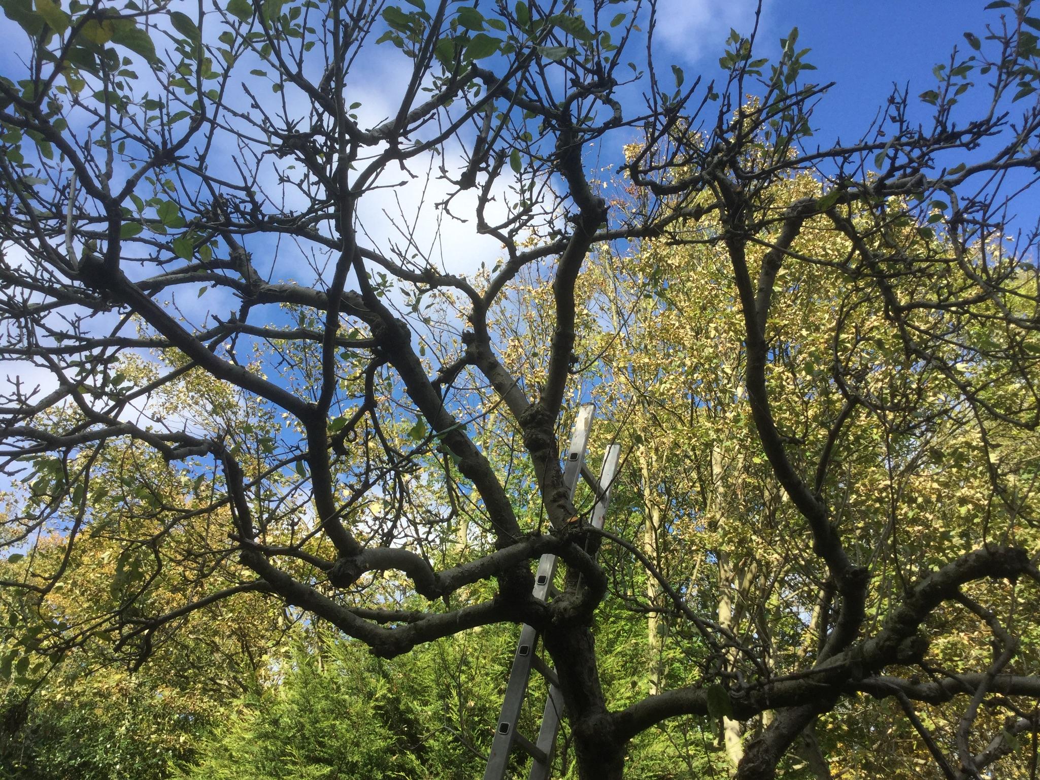 London cottage garden pruning our old apple tree for Trees garden of jane delawney blogspot