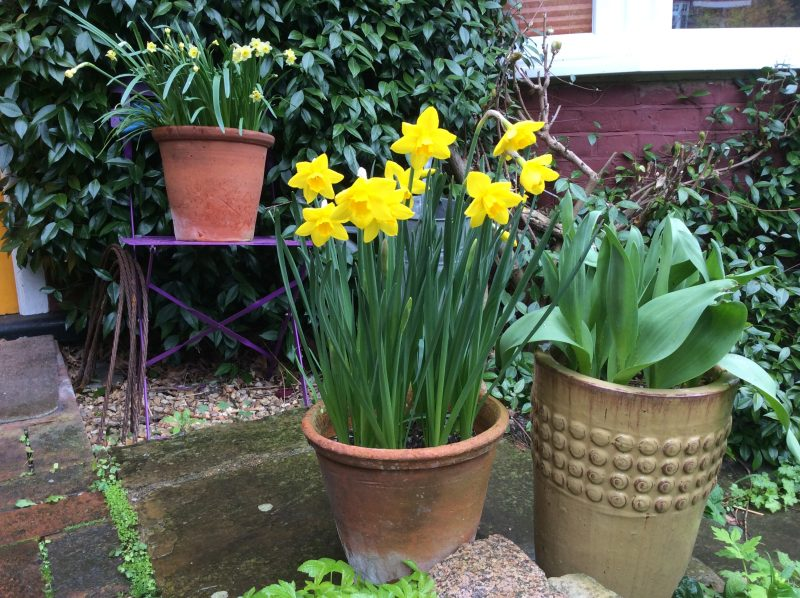 Daffodils in containers in a cottage garden