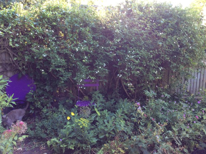 Cottage garden jasmine