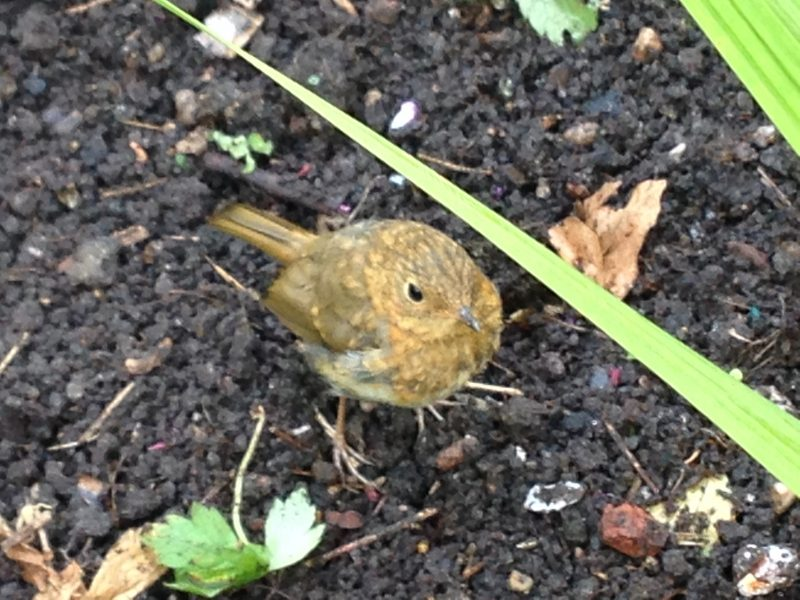 Baby robin in a cottage garden