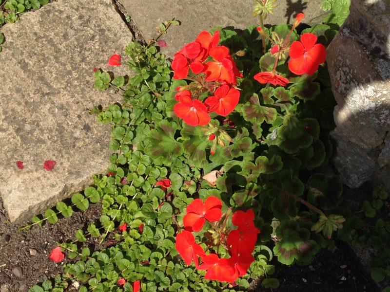 pelargonium and creeping Jenny