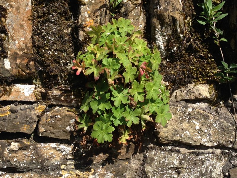 hardy geranium macrorrhizum
