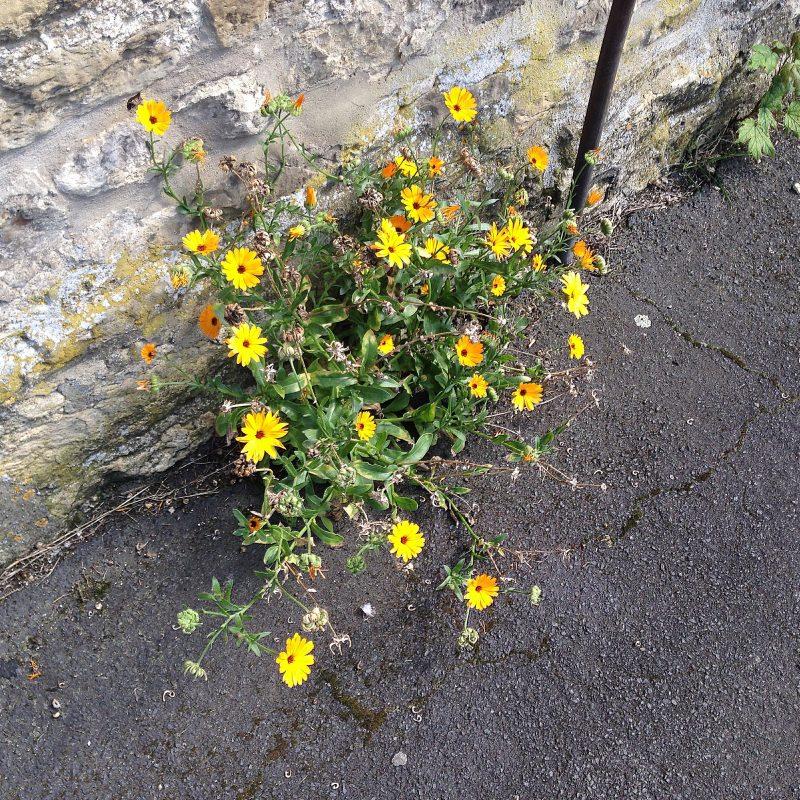 cottage garden self-seeding plants