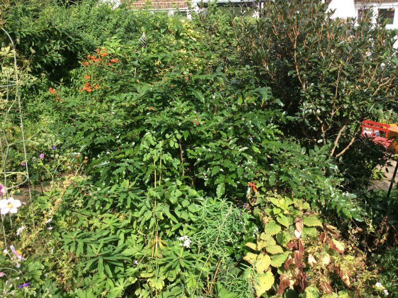 Mahonia aquifolium shrub