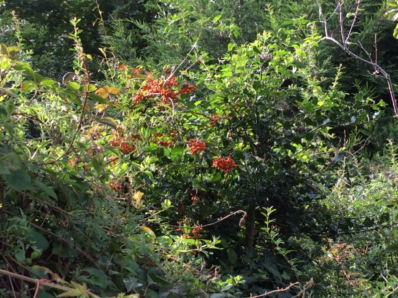 Pyracantha producing autumn berries
