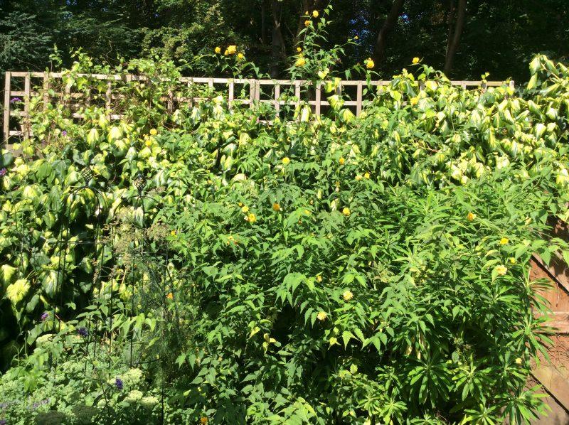 Kerria japonica yellow flowers