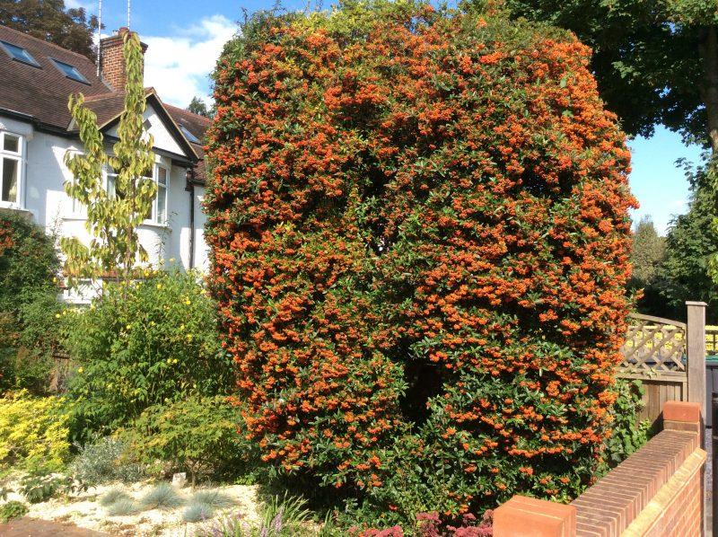 Pyracantha berries in autumn