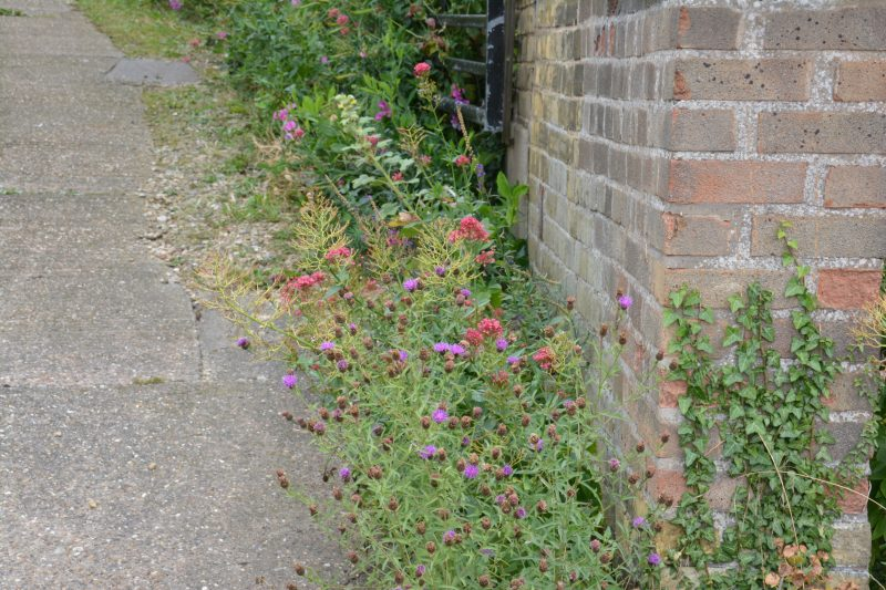 cottage garden self seeded plants