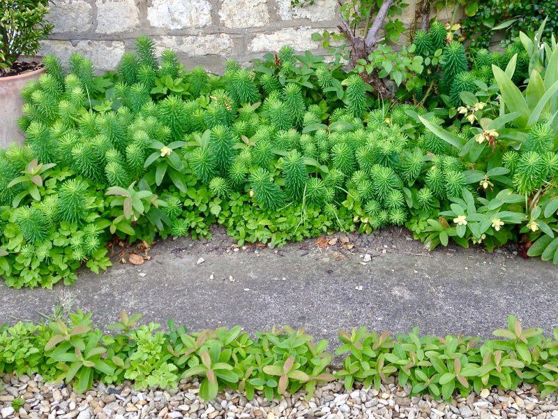 self-seeded cottage garden plants