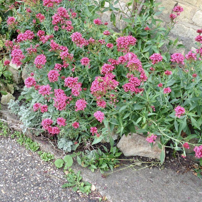 cottage garden valerian