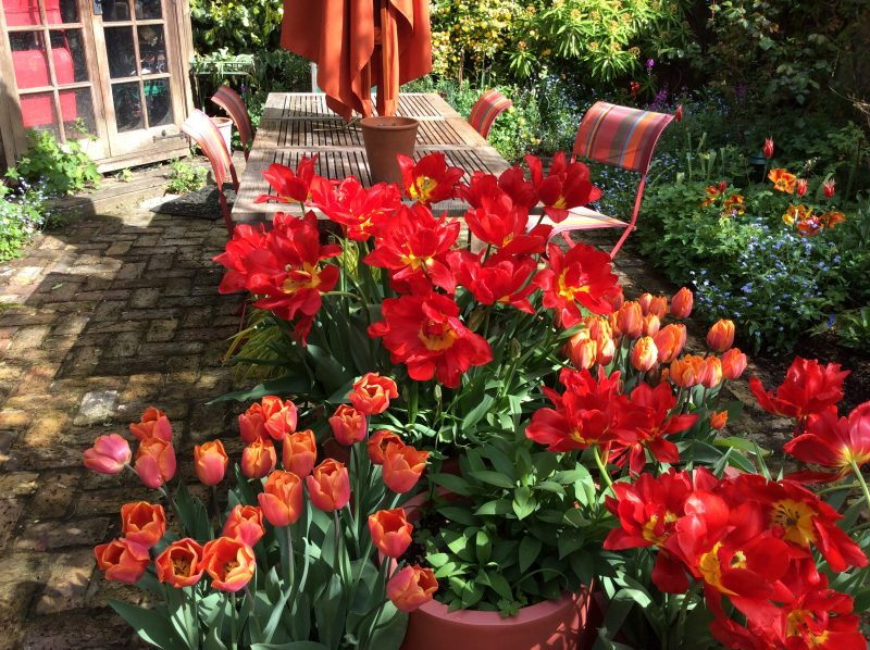 tulips in pots in urban garden