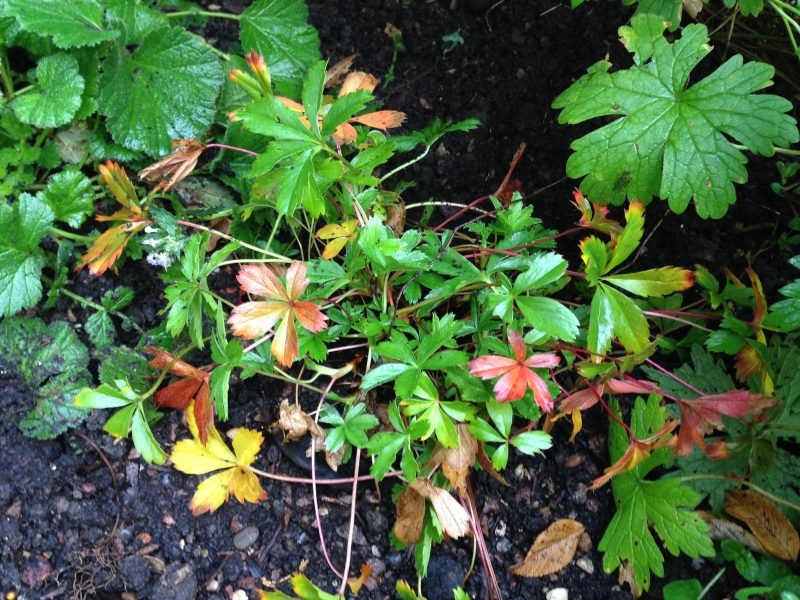 Potentilla cottage garden plant