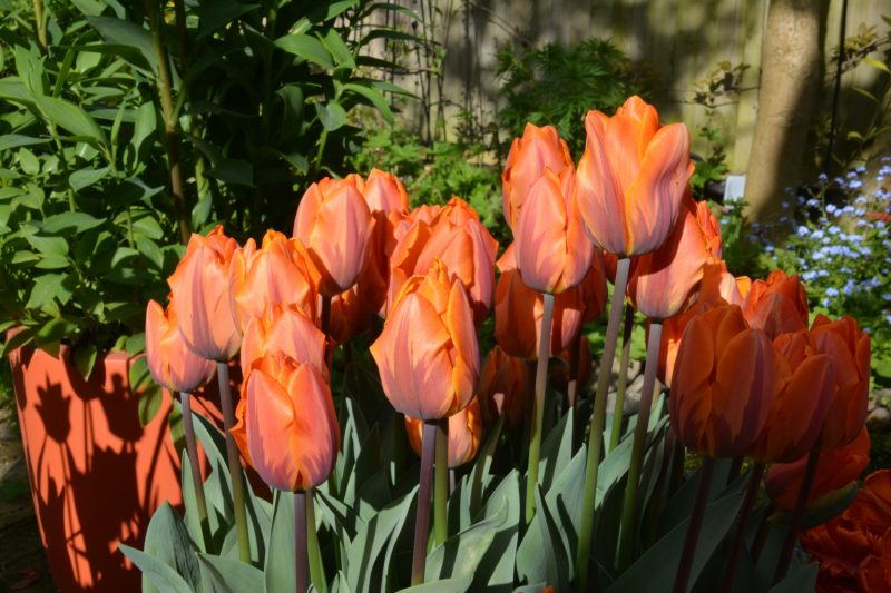 spring bulbs in city garden
