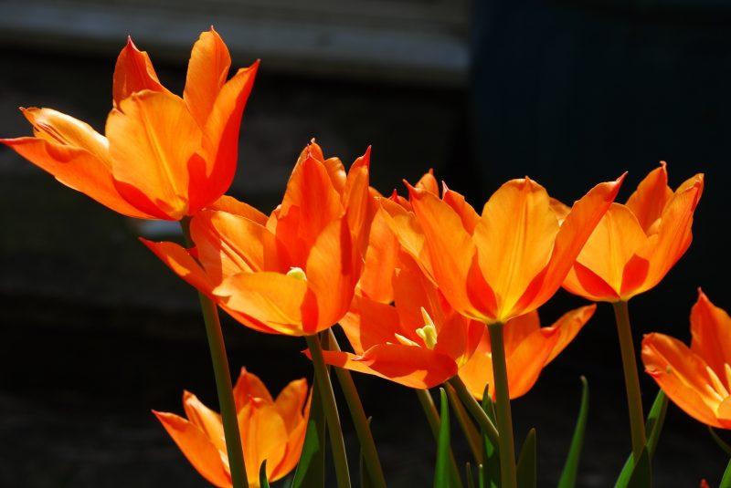 tulips in London cottage garden