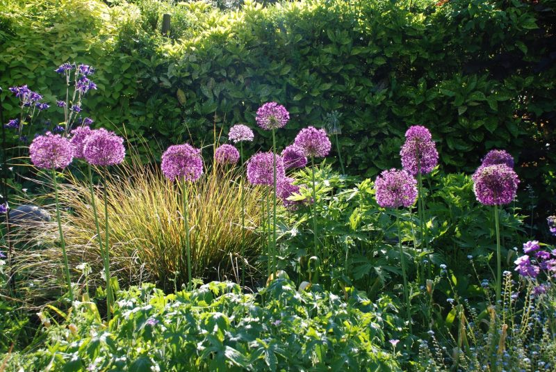 allium bulbs in a city garden