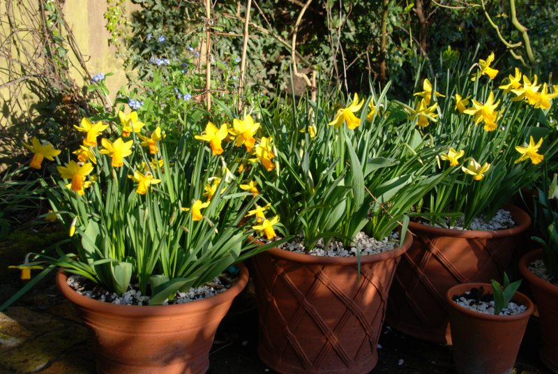 daffodils in pots in a city garden