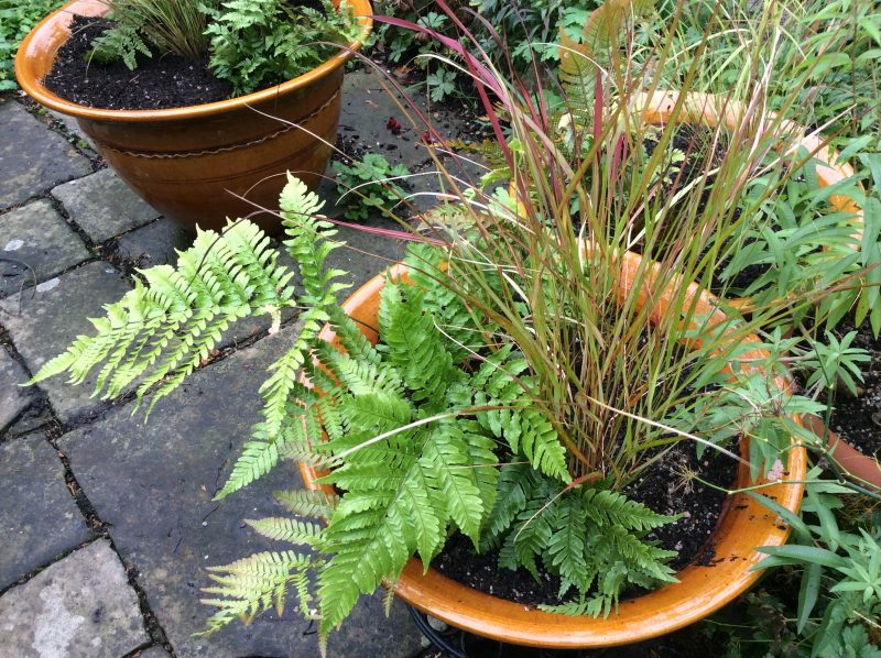 Ferns and grasses in containers