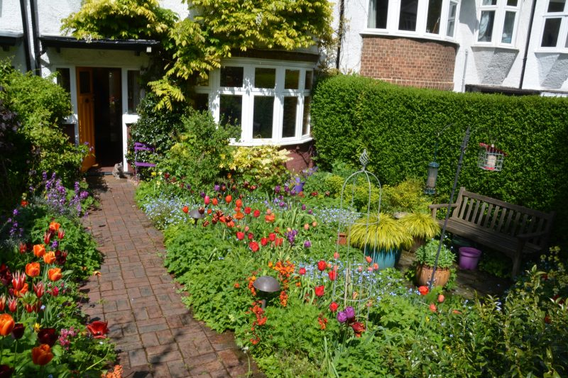 Tulips in a london cottage garden
