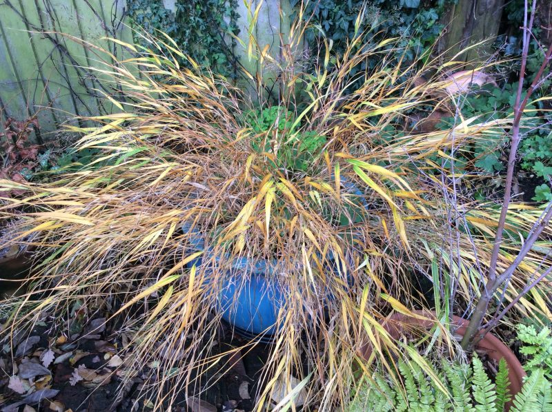 Grasses in a London cottage garden