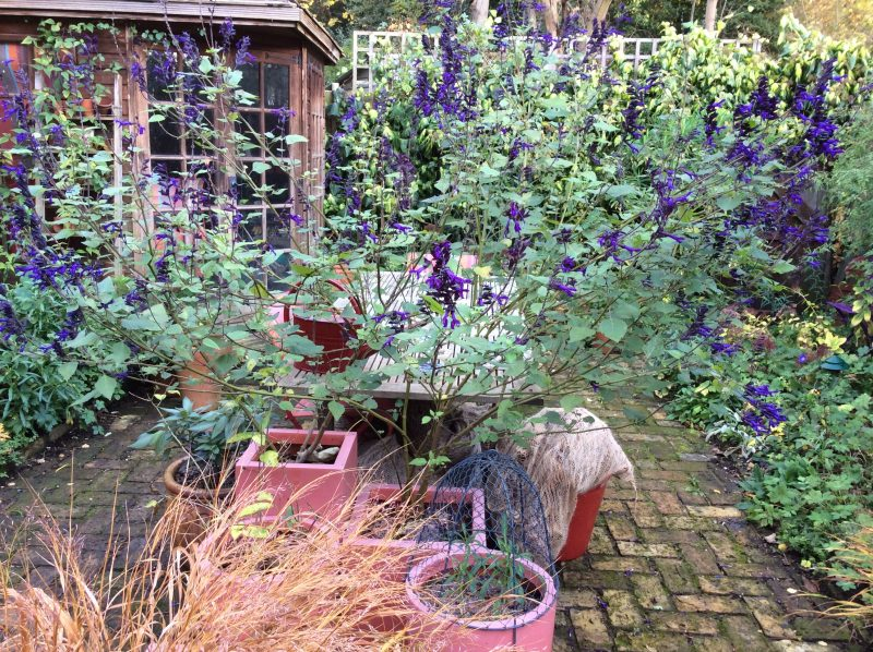 Salvia in pot