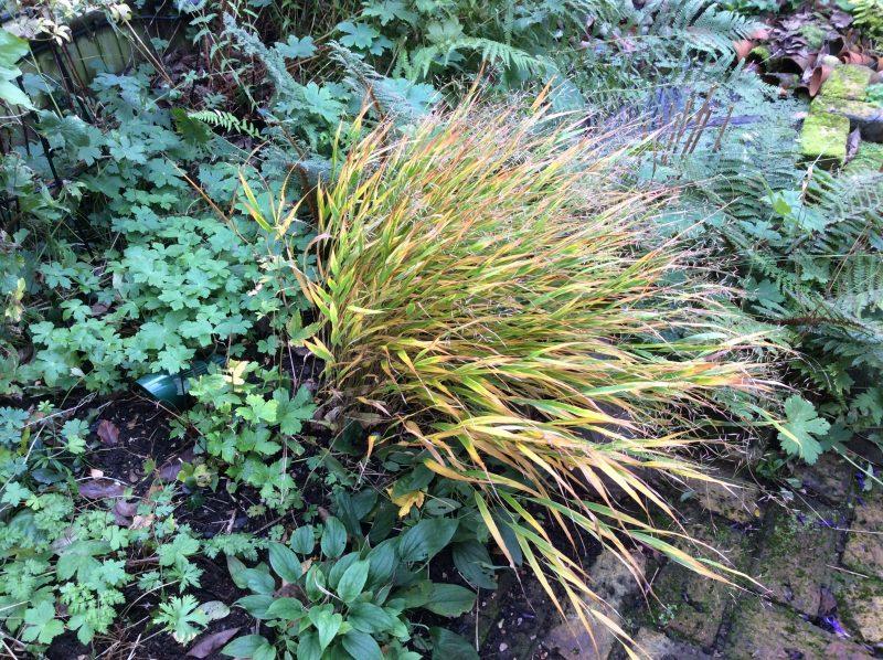 Japanese grasses in the garden border