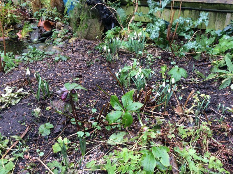 Snowdrops in cottage garden