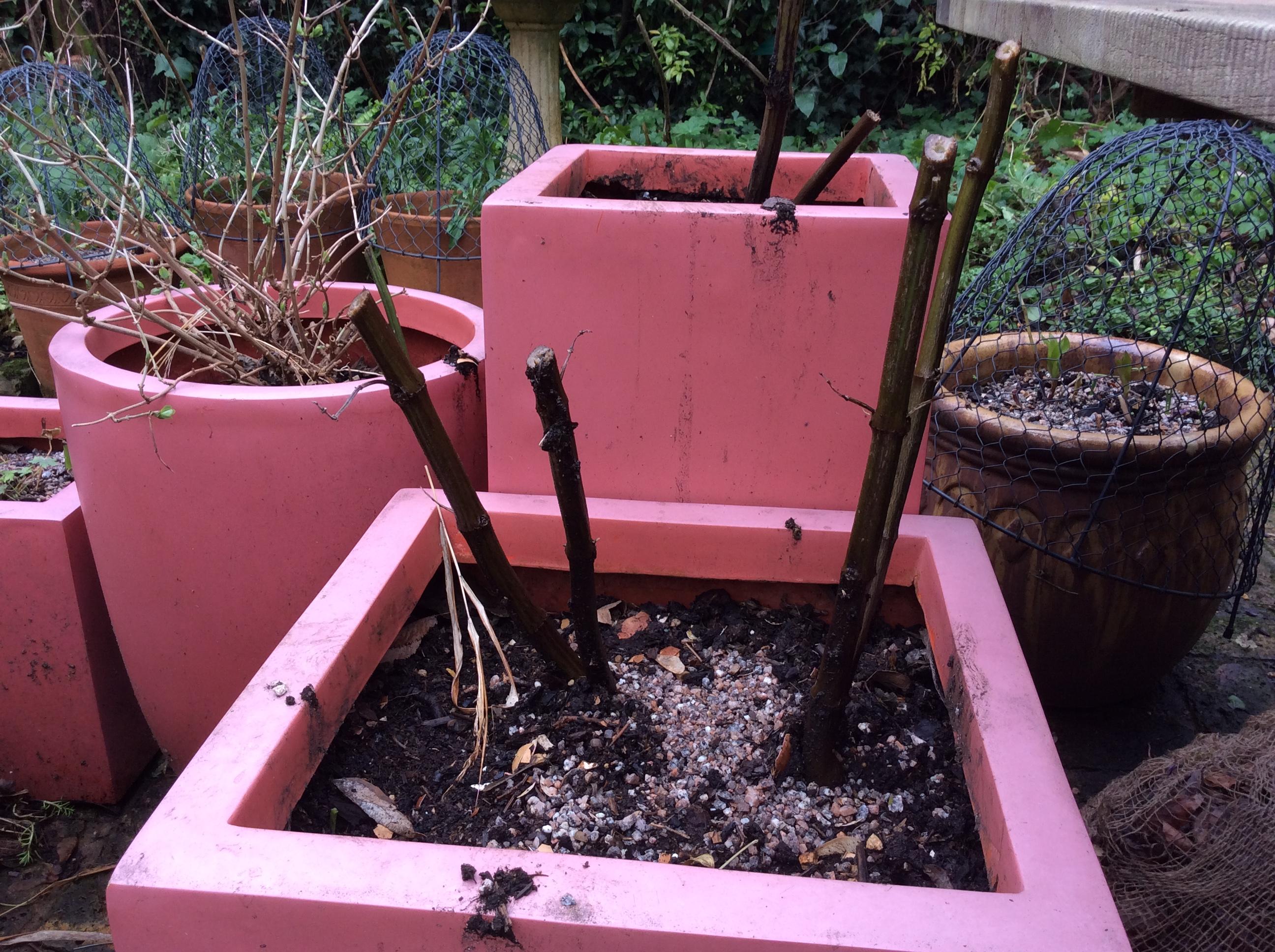 Salvia Amistad, hardy perennial, cottage garden