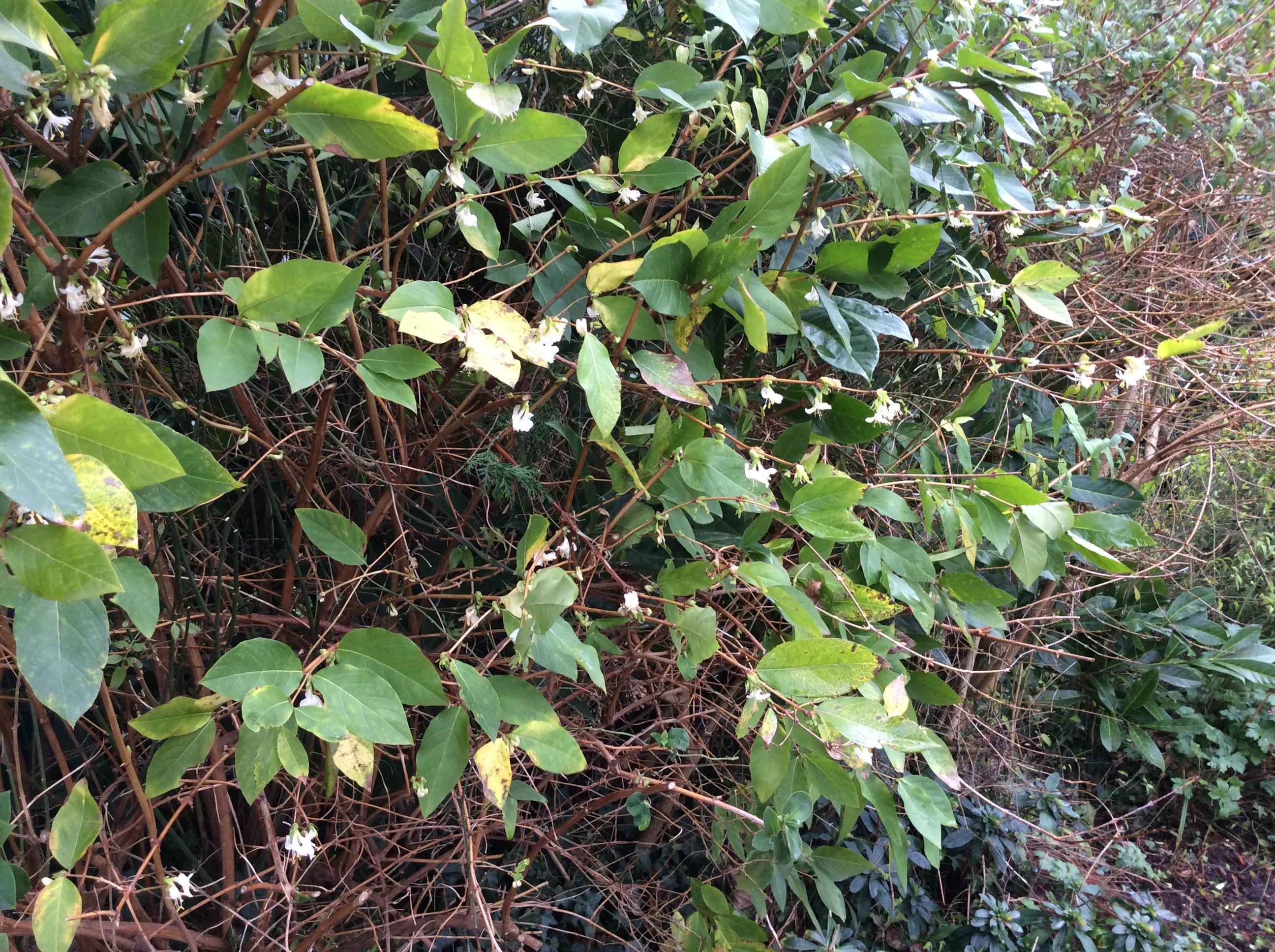cottage garden shrubs