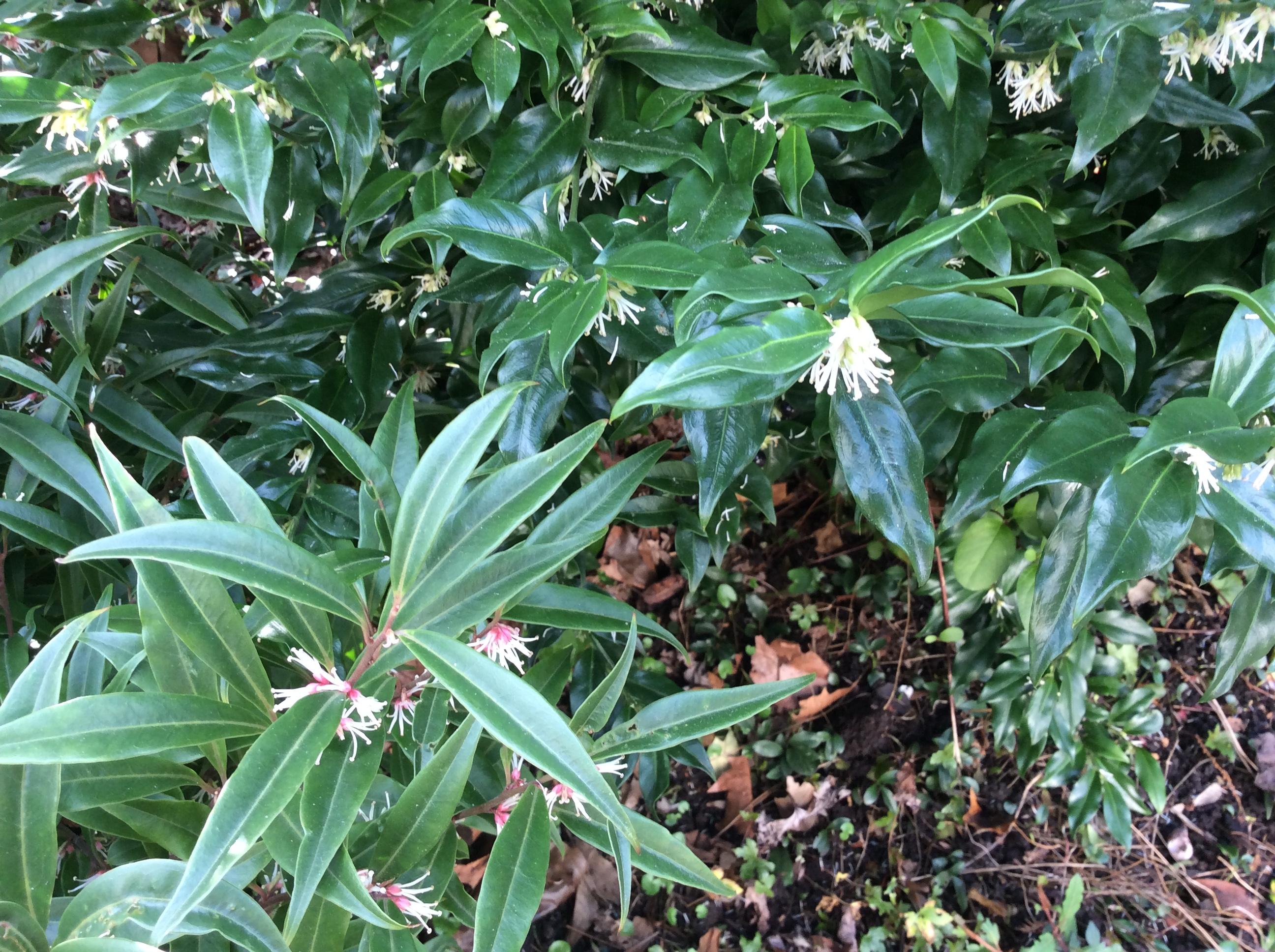 garden scented shrubs