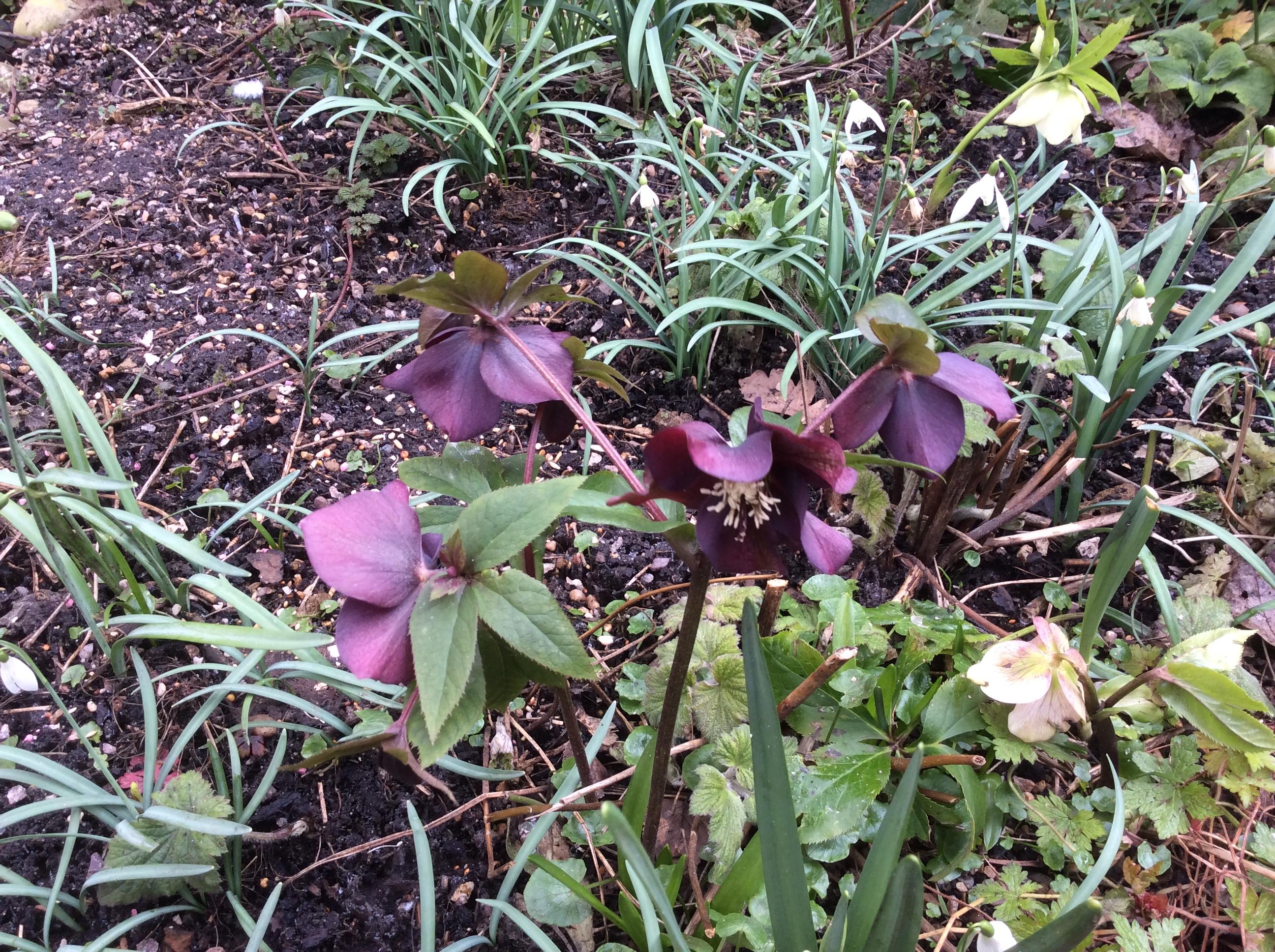 hellebore cottage garden plant