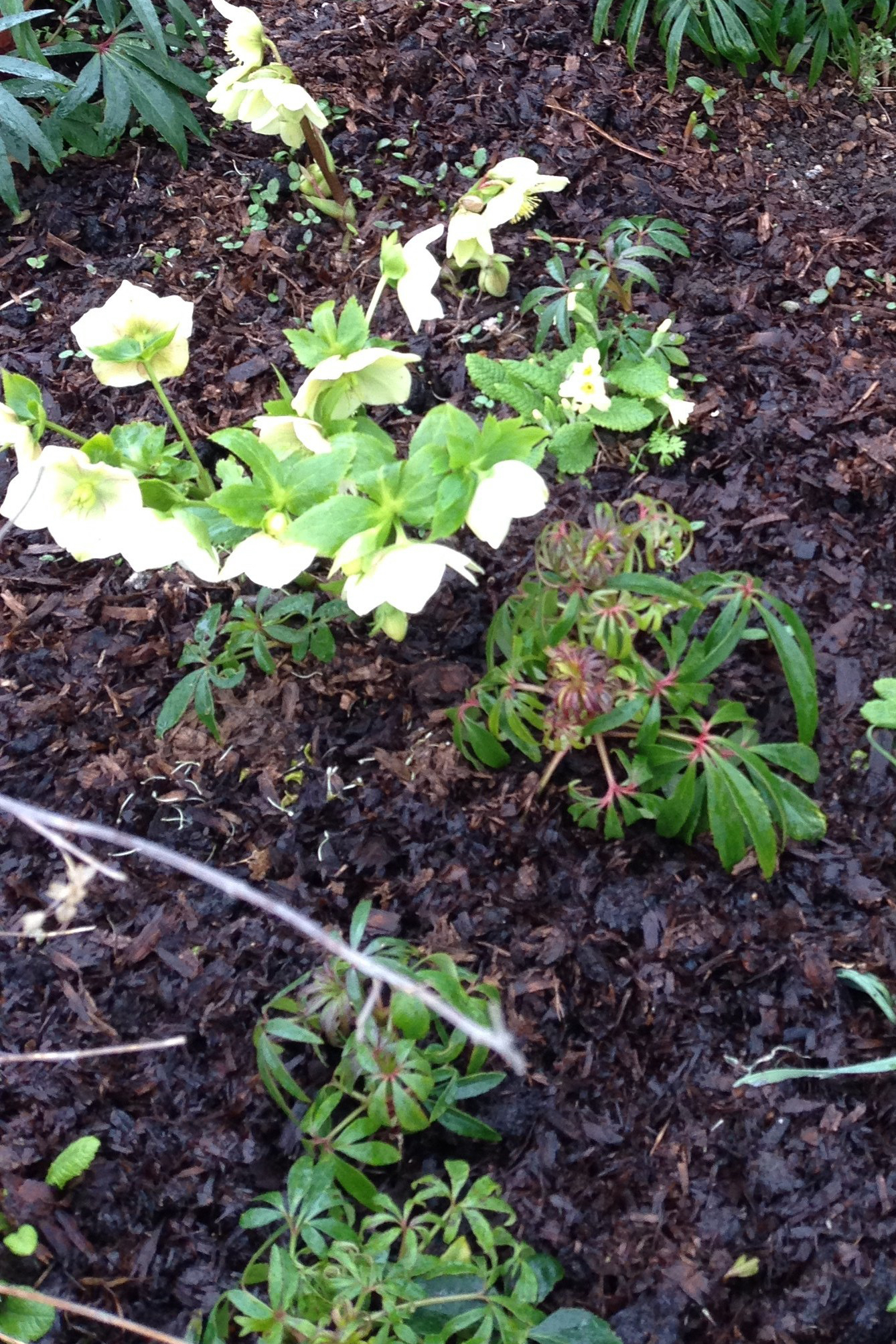 white hellebore in cottage garden