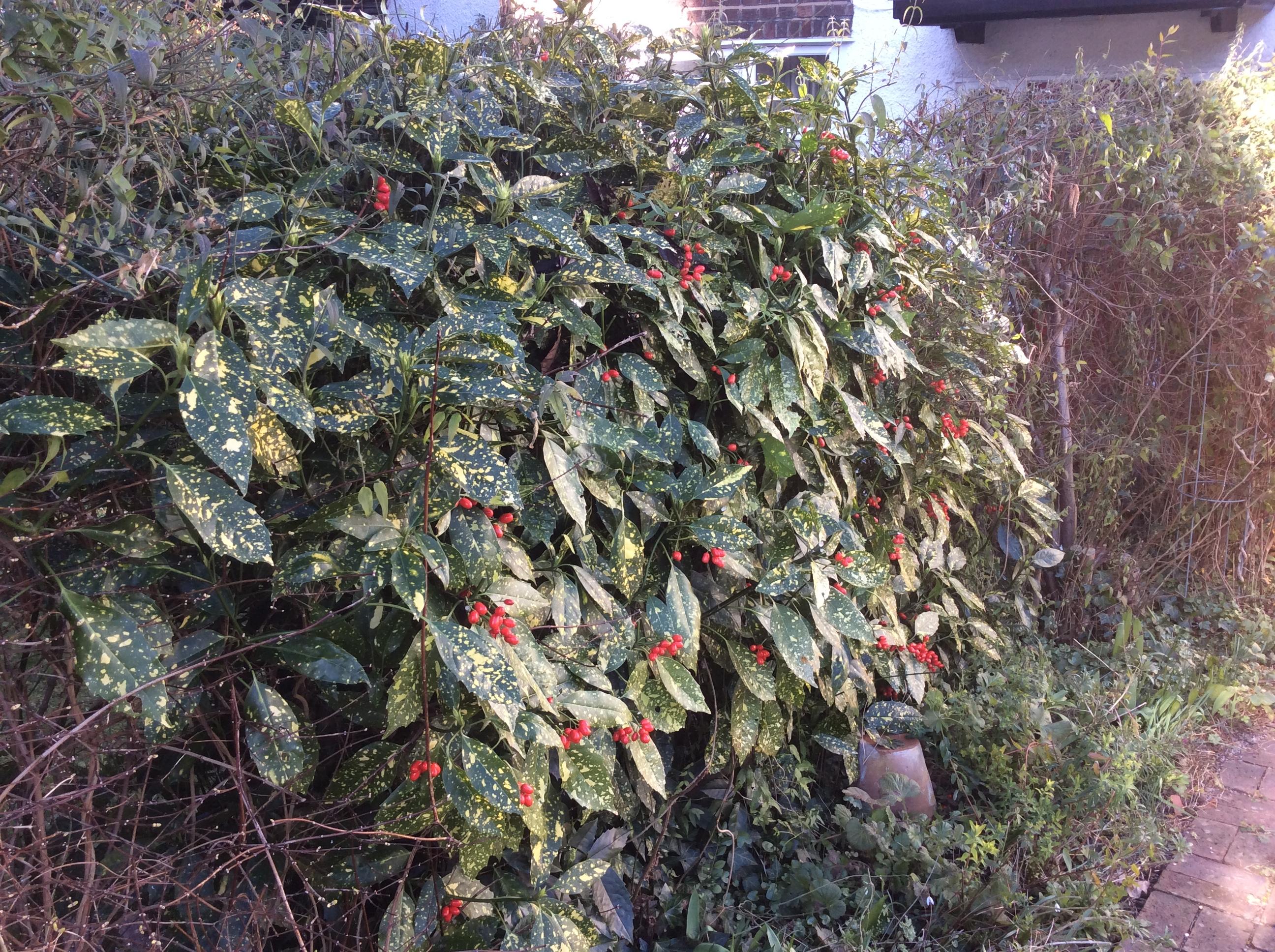 berries on spotted laurel shrub