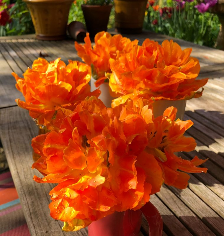 Peony flowered tulip