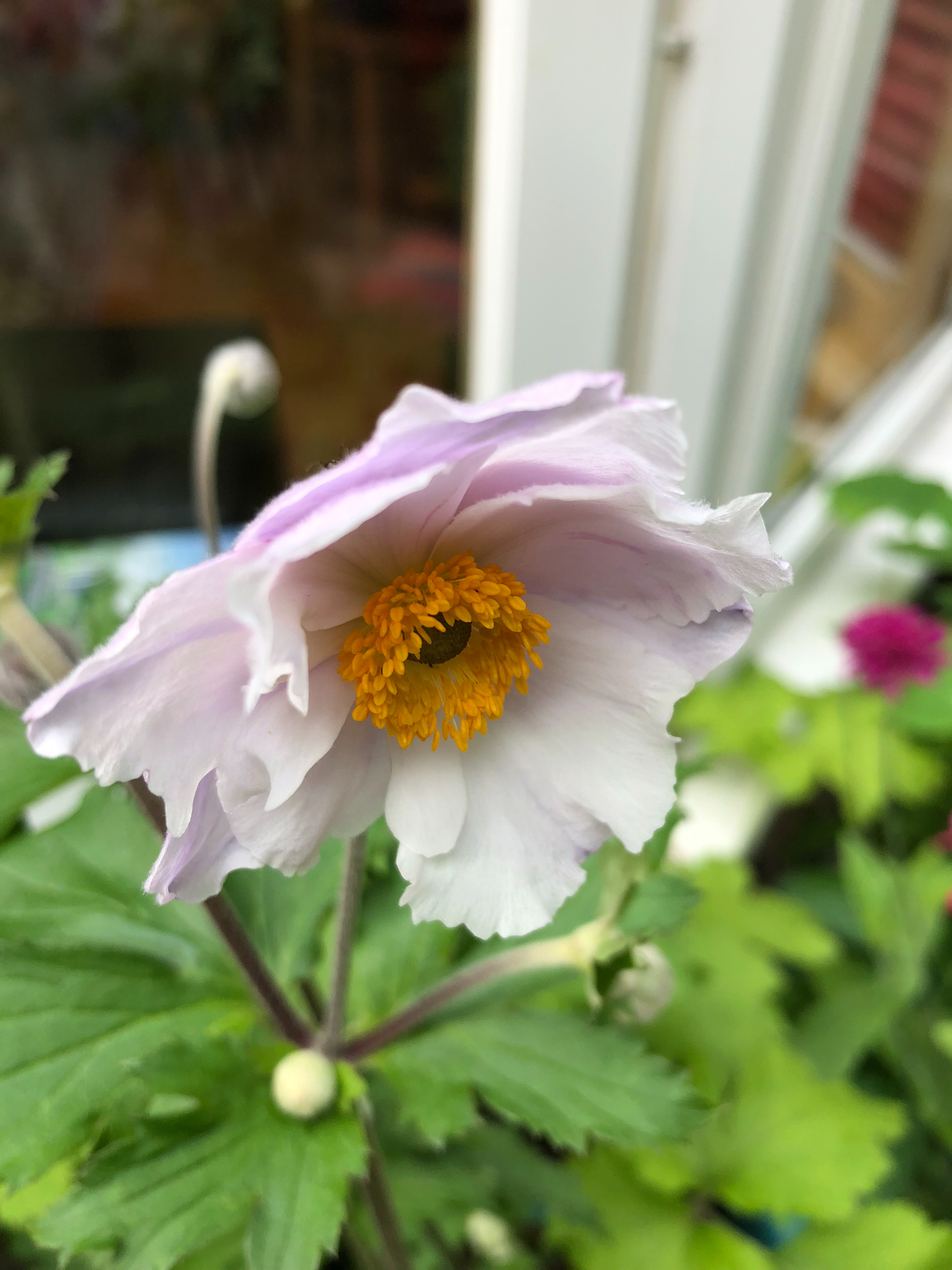 autumn flowering Japanese anemones