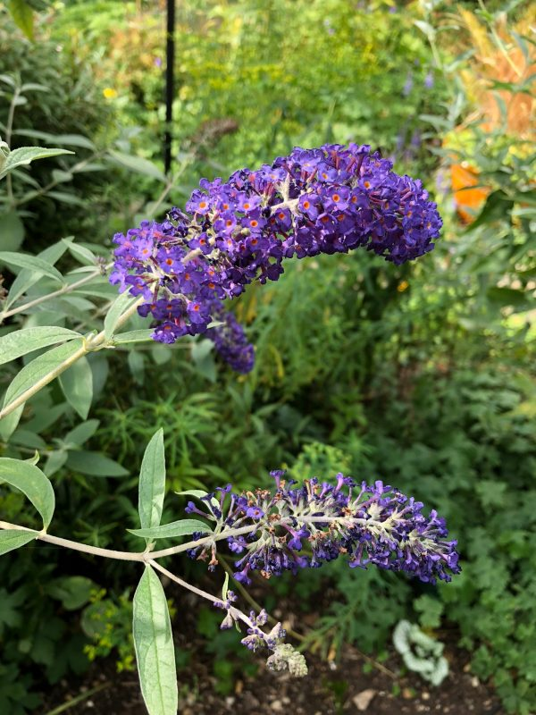 Buddleja in a cottage garden