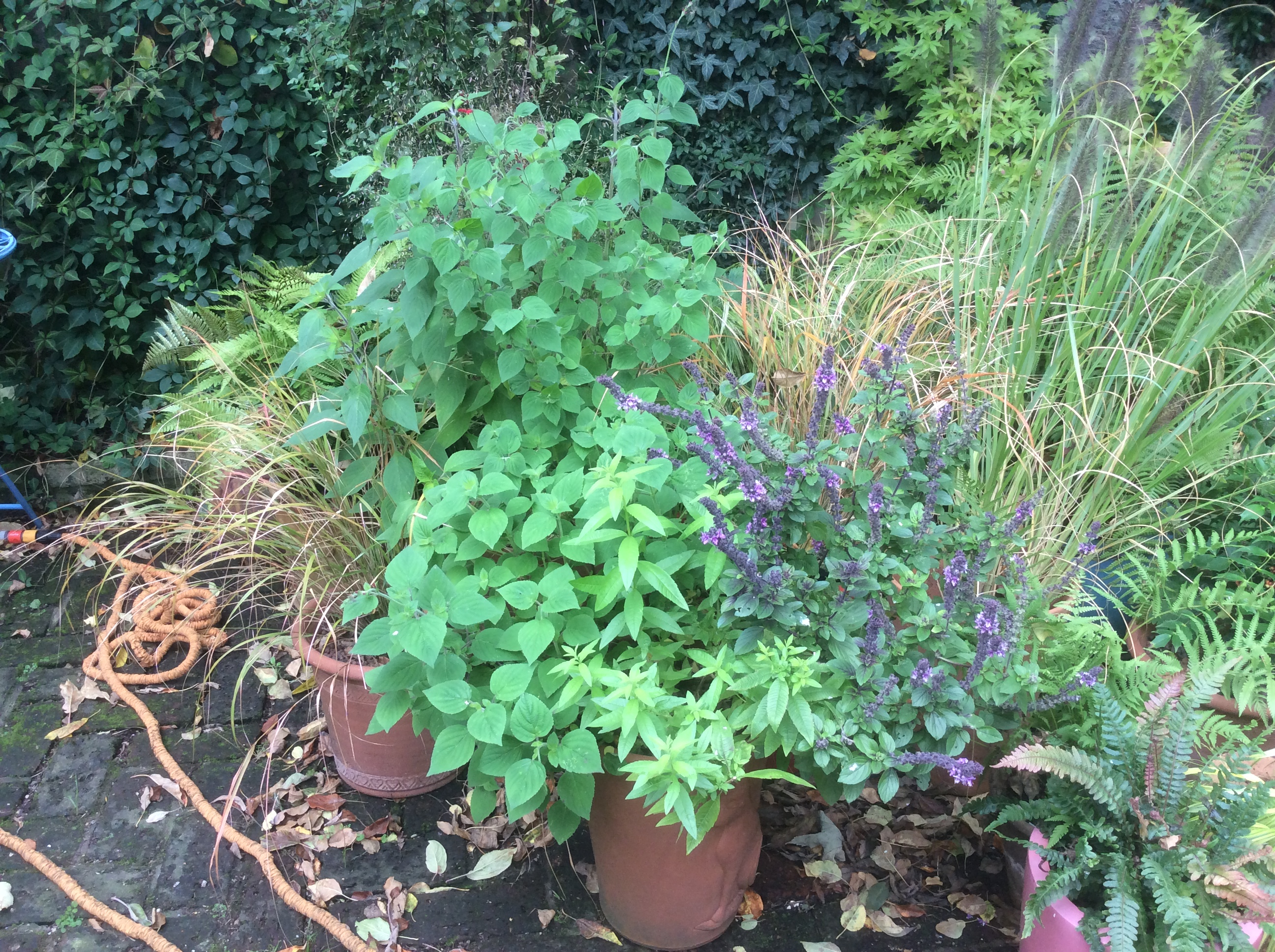 purple basil, lemon verbena, pineapple sage