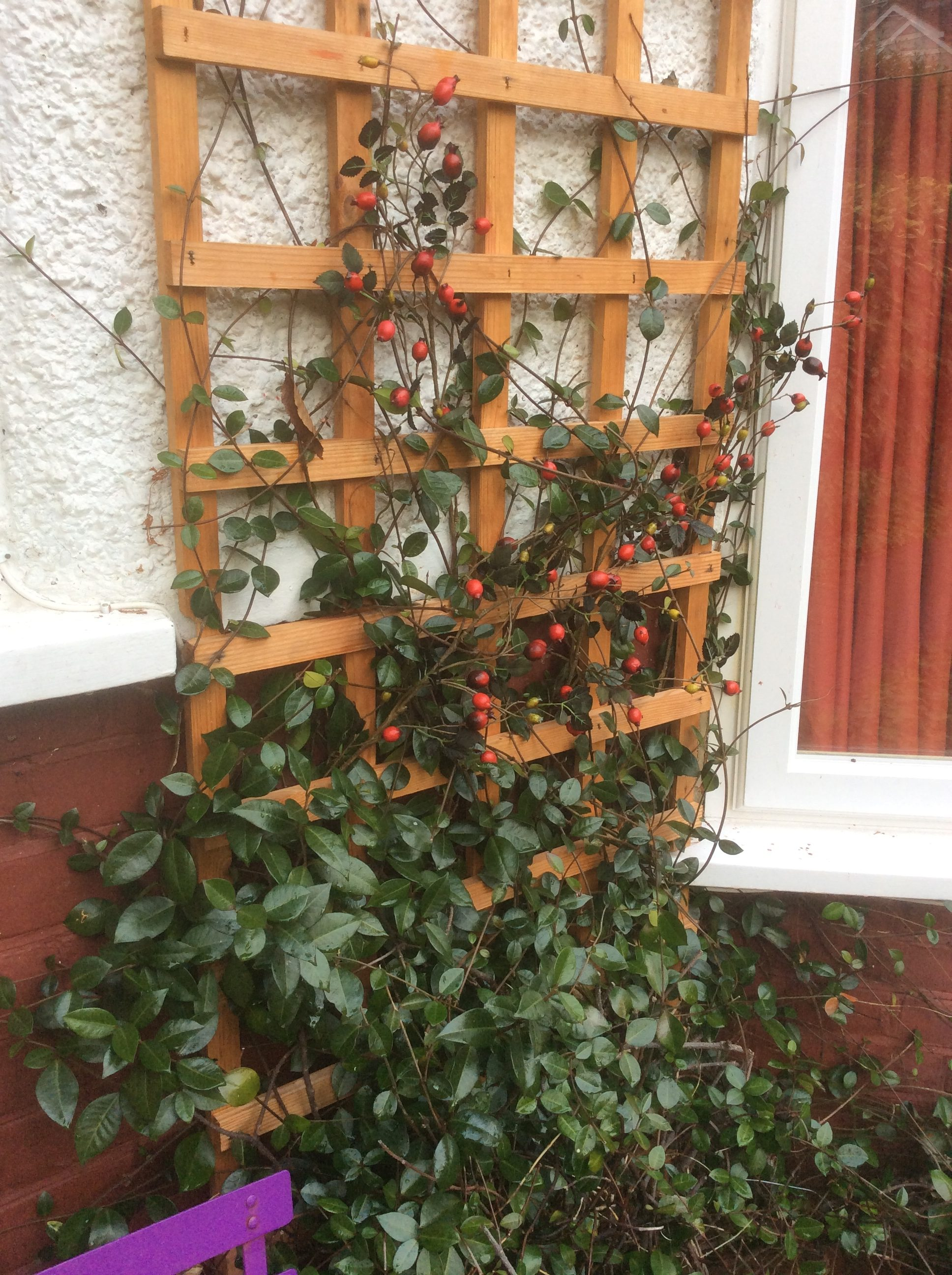 climbing shrubs in a cottage garden