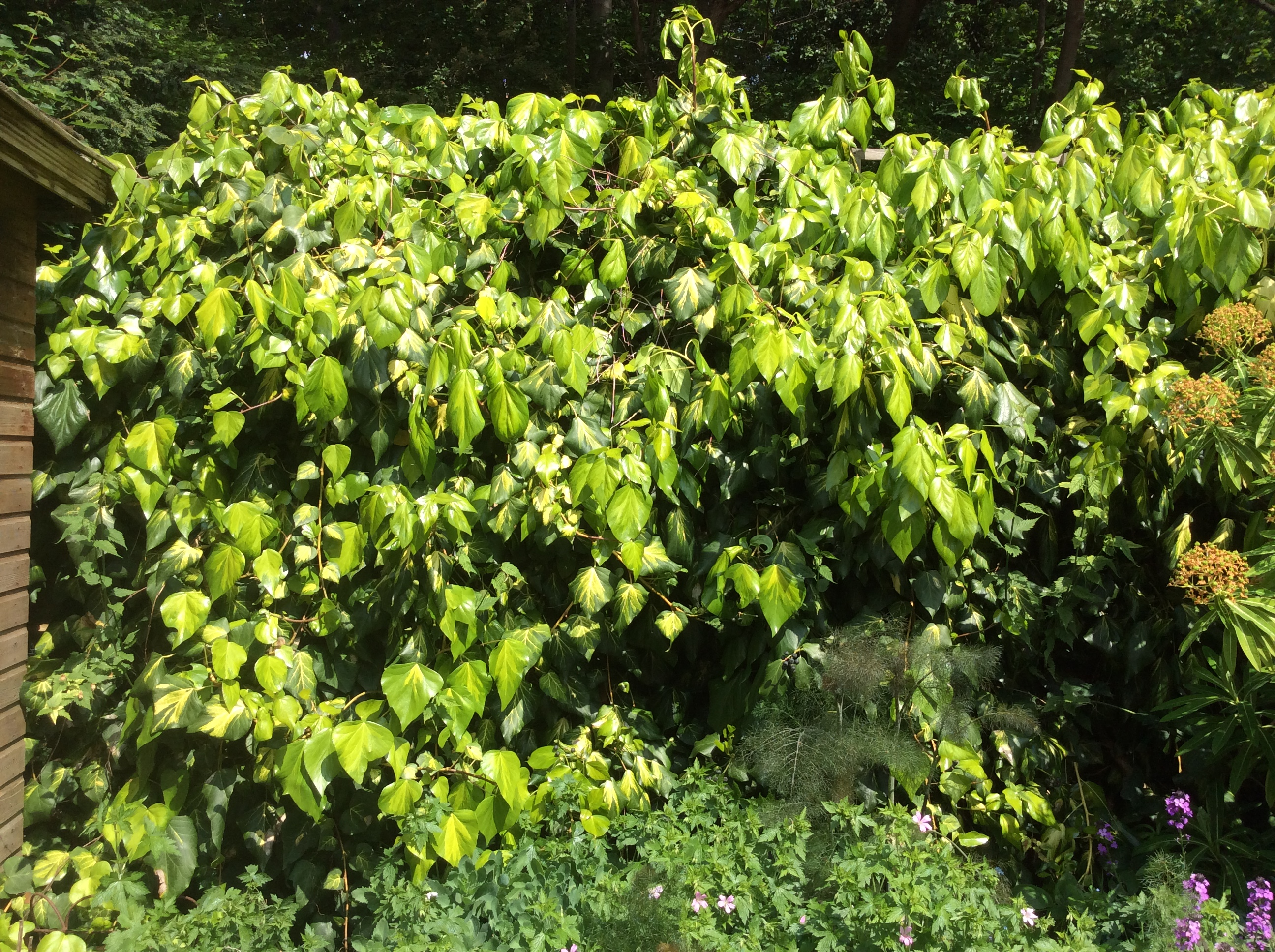 ivy in a London cottage garden