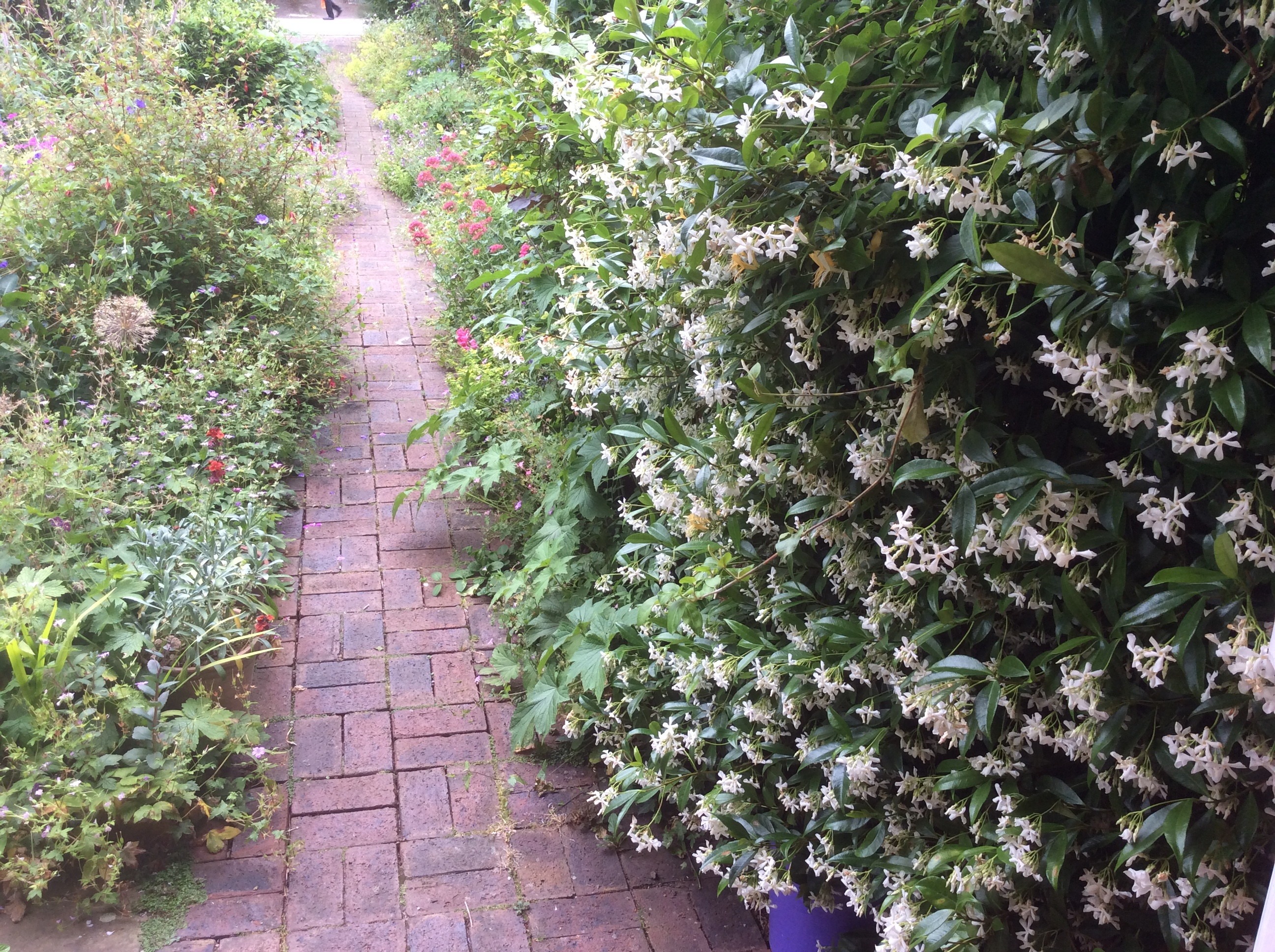 jasmine flowers in early July in my cottage garden