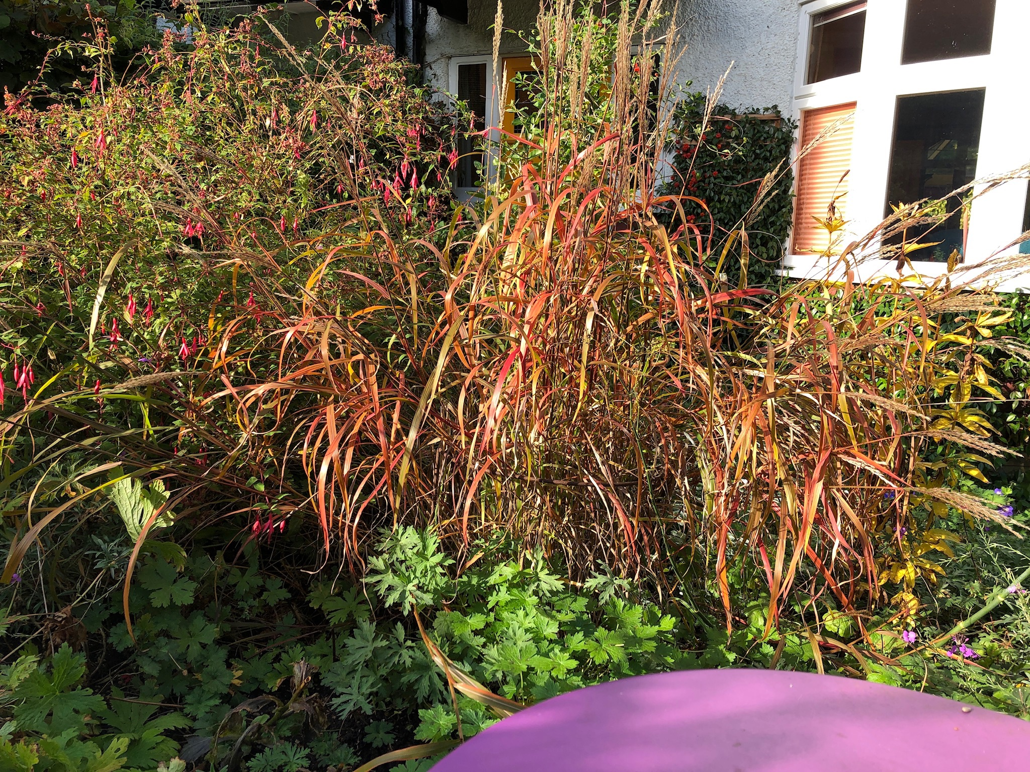 Miscanthus grass in a cottage garden