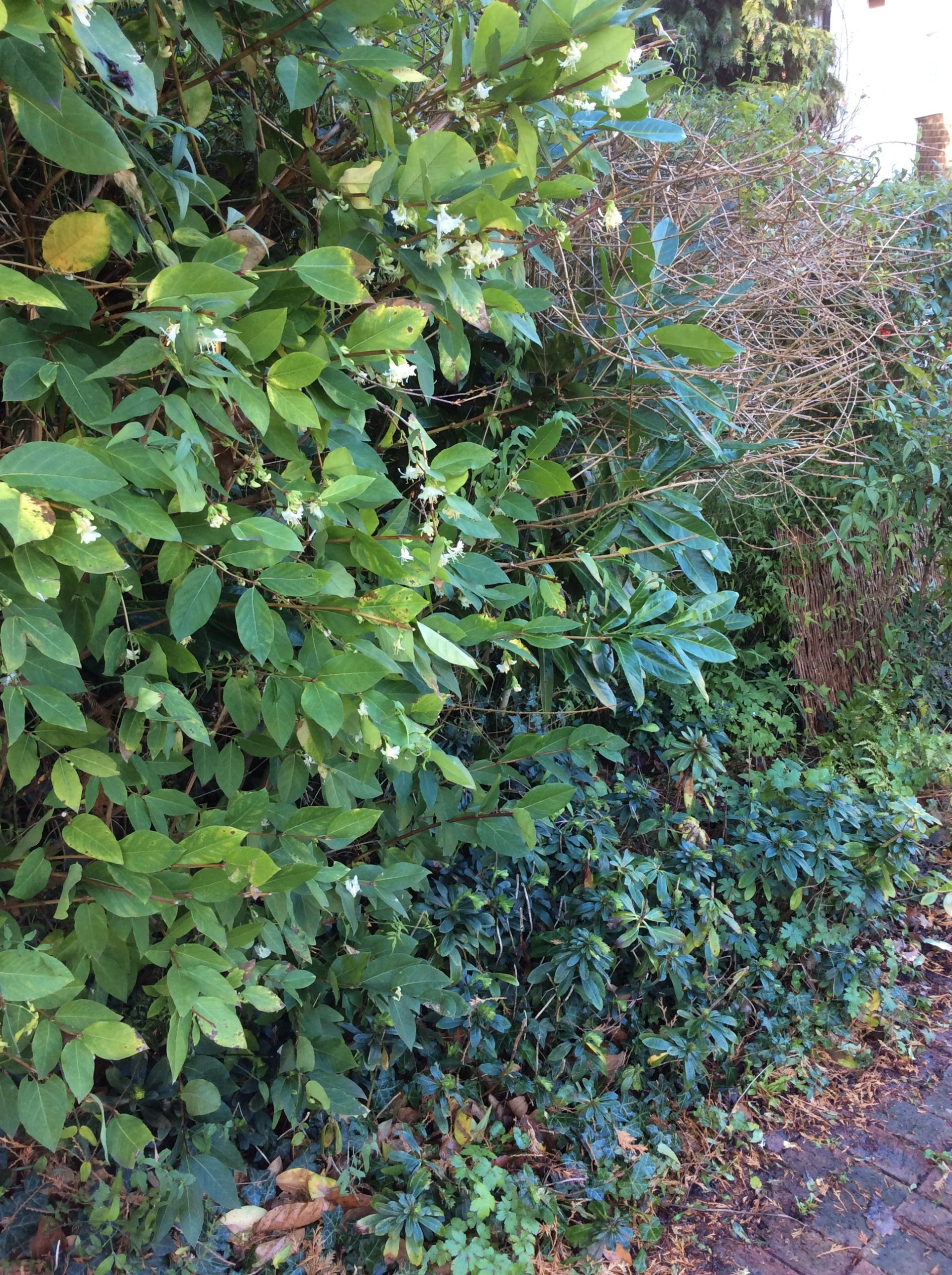 scented shrub in a winter garden