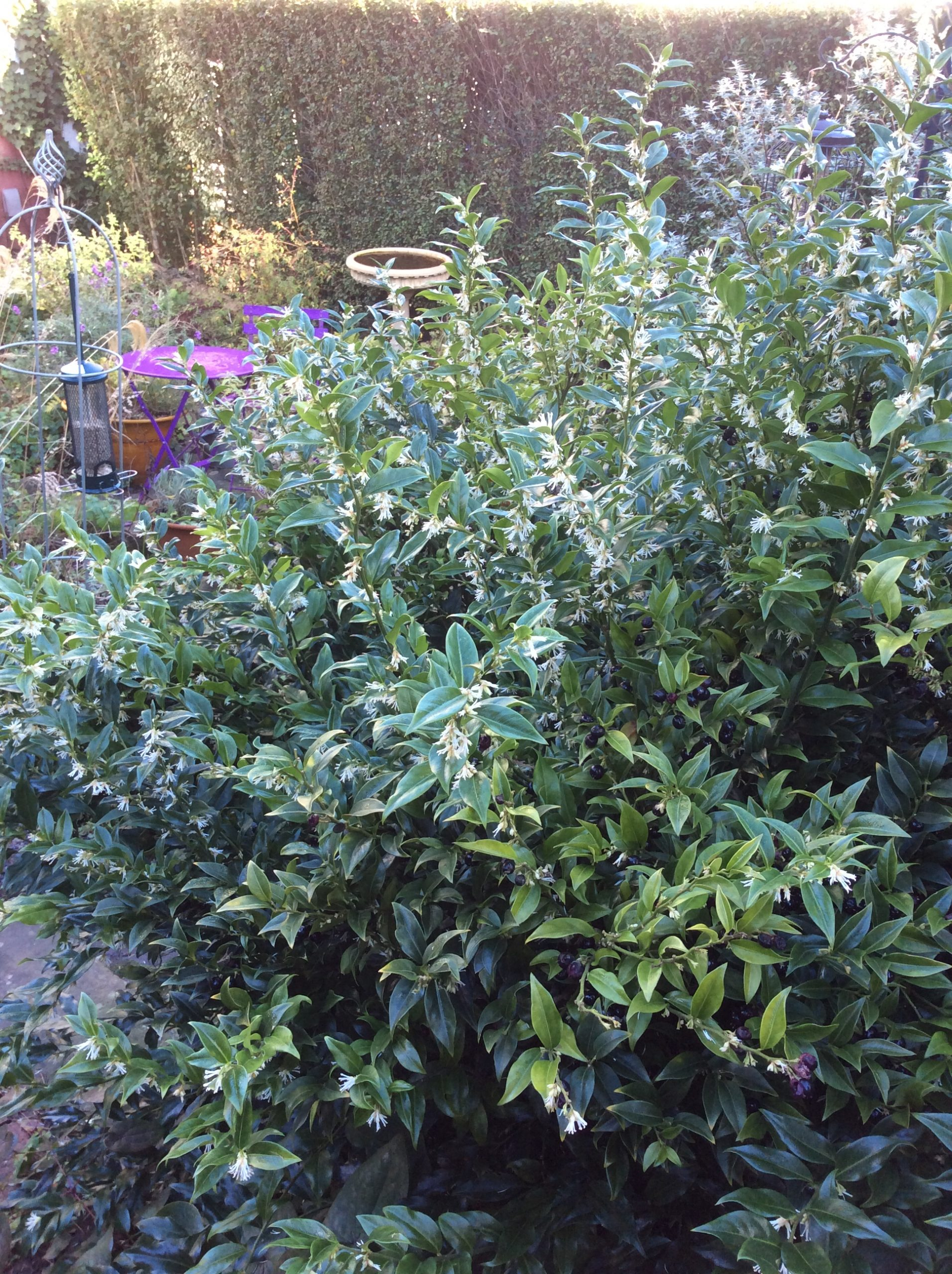 scented shrub in cottage garden