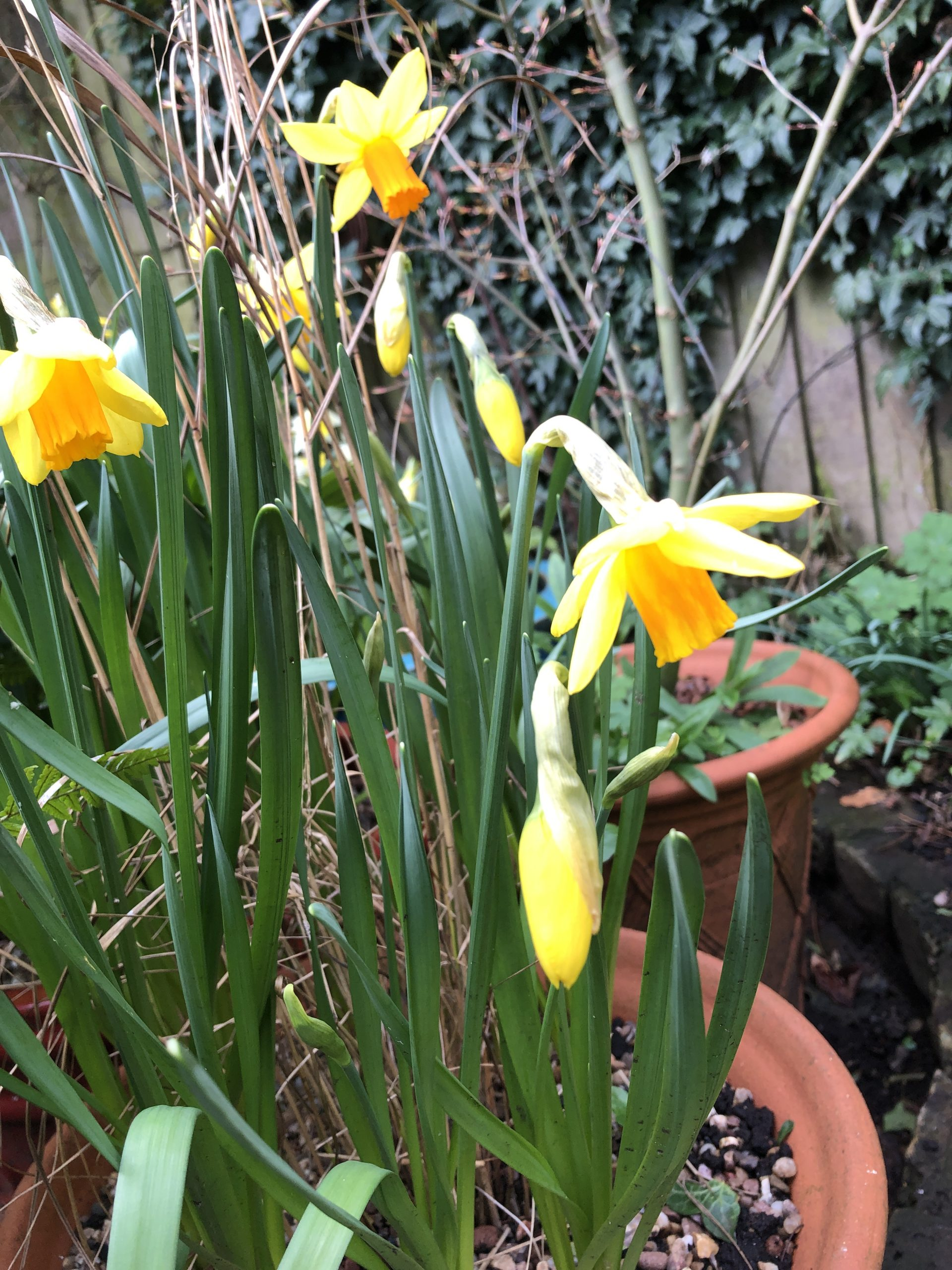 daffodils in terracotta container