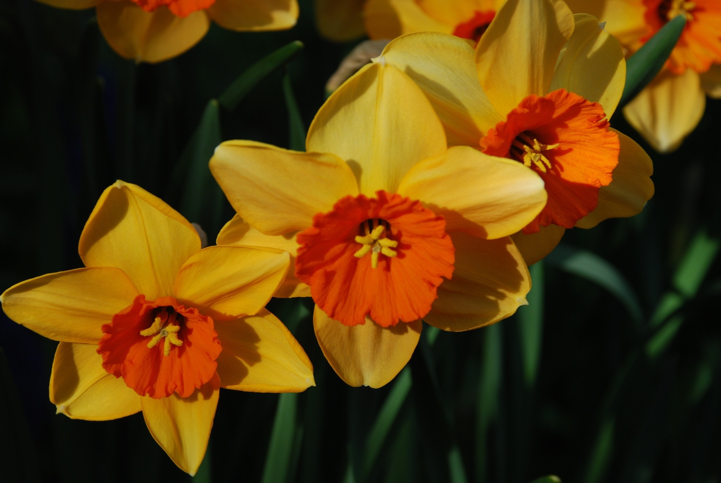 daffodils in London cottage garden