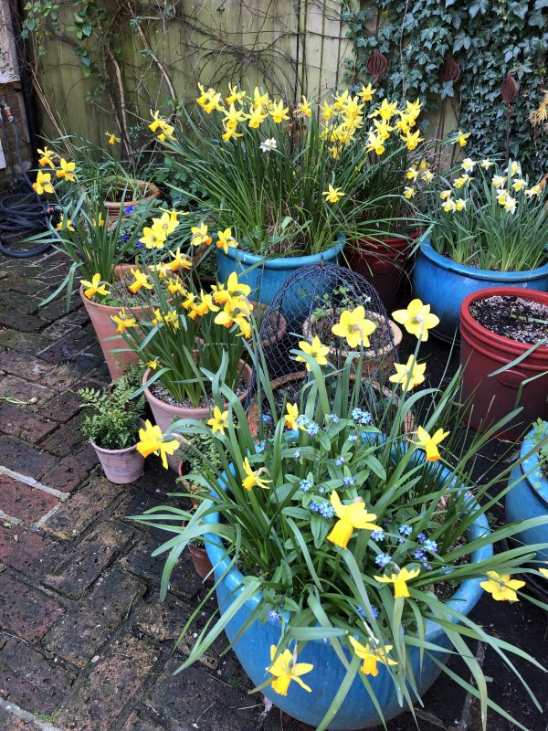 Daffodils in a small garden