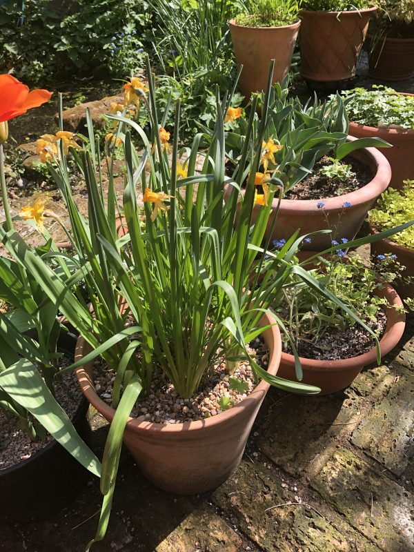 Daffodils in a terracotta pot