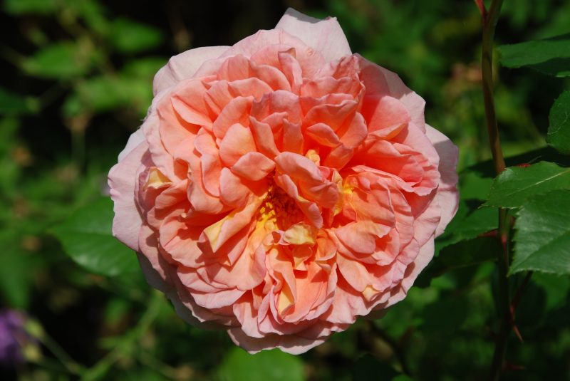 English rose in a cottage garden