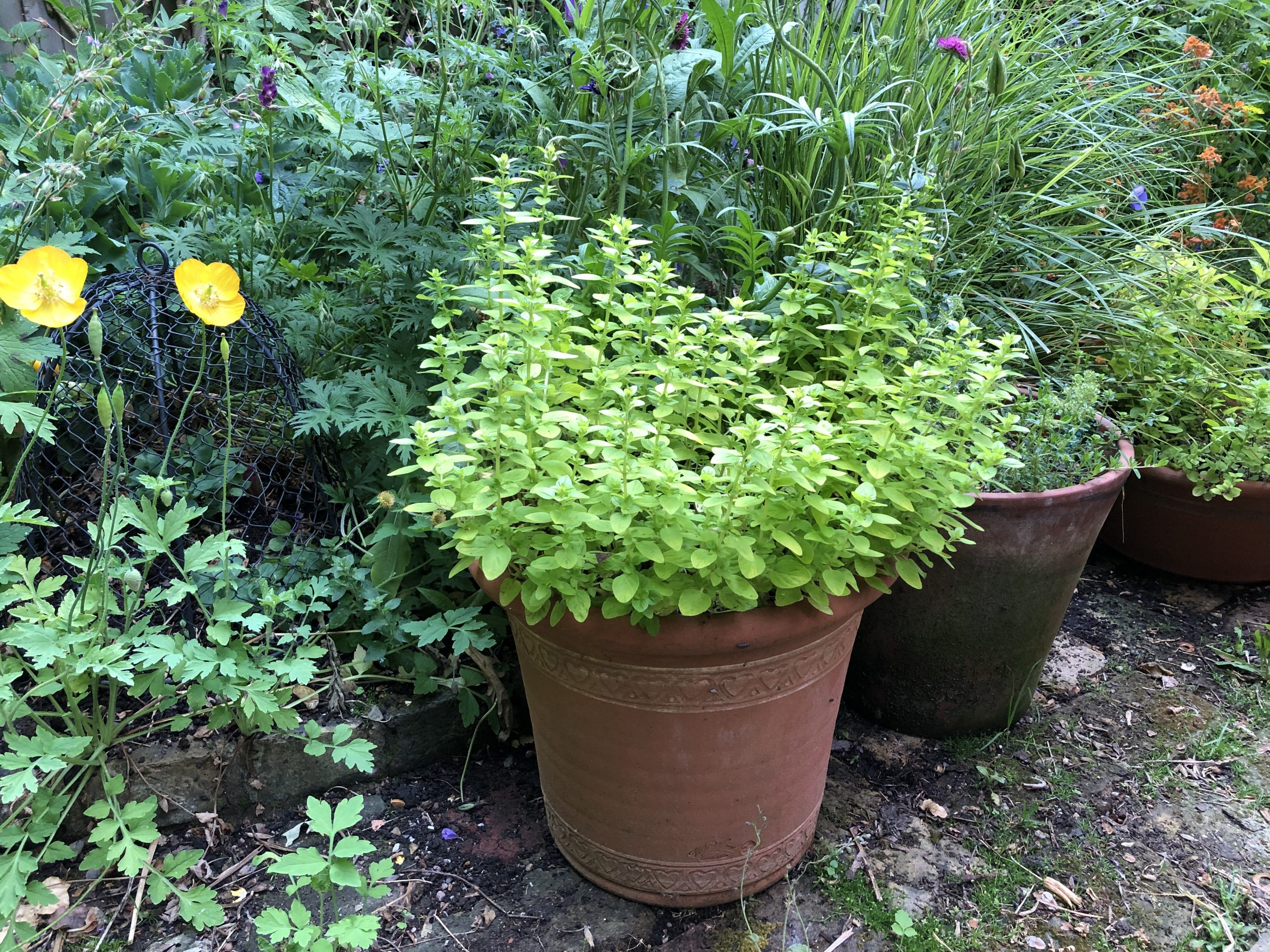 herb in a pot