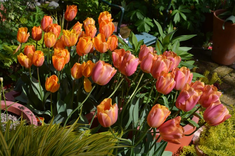 pots of tulips in a city cottage garden