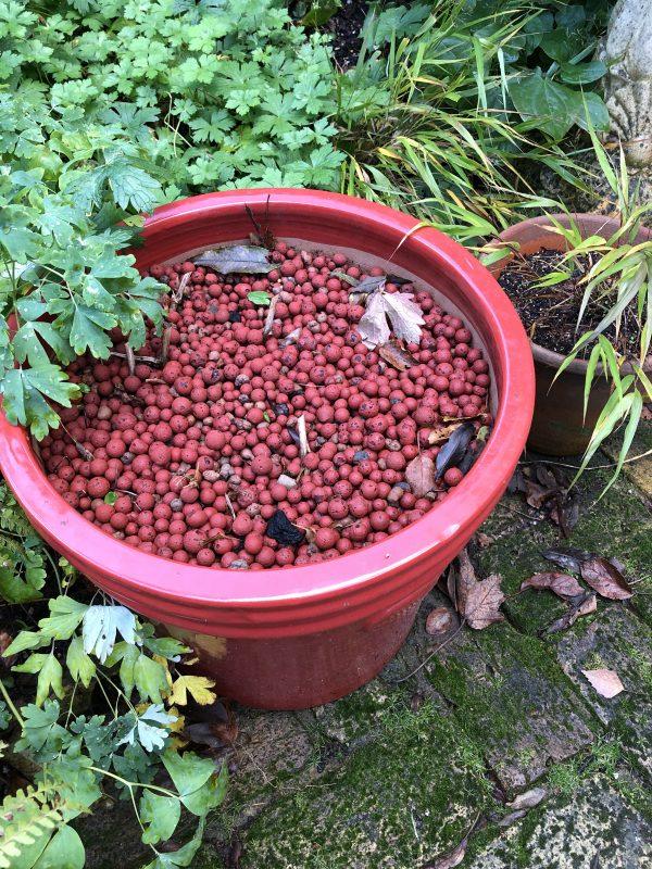 winter colour in a garden pot